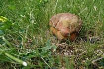 Hříbek na náměstí TGM v Bechyni druhý den už nebyl, bylo posekáno.
