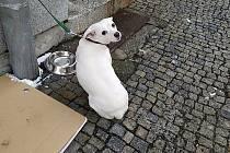 Majitelka zapomněla psa přivázaného před lékárnou. Vyzvedla ho za dvě hodiny.