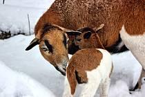 Prvním letošním přírůstkem v táborské zoo je jehně ovce kamerunské.