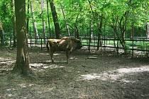 Zubřice Taura ztáborské zoo obohatila stádo vpolské Poznani.