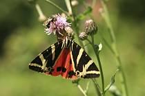 Tento vzácný druh motýla je chráněný v celé Evropské unii soustavou Natura 2000. Na fotografii přástevník kostivalový.