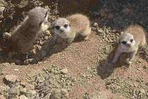 Surikatí trojčata z větrovské zoo.