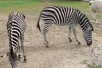Zebra ze zoo.