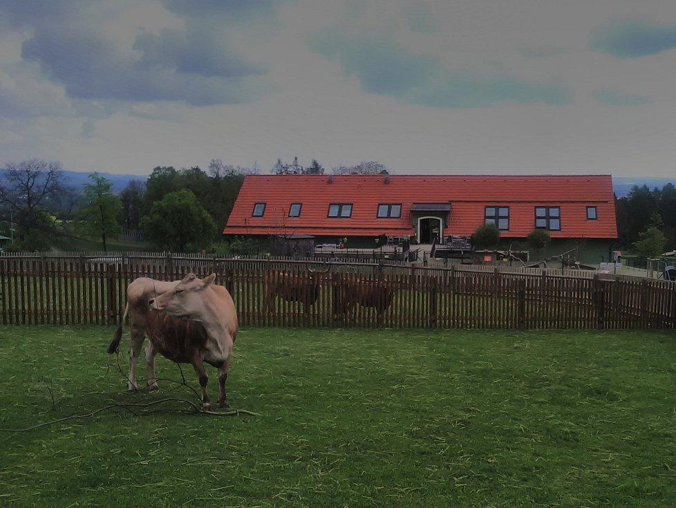 Táborská zoologická zahrada zachránila život dvanáctileté krávě Báře, která onemocněla rakovinou.