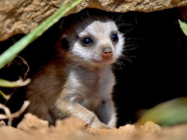 Mládě surikaty vlnkované
