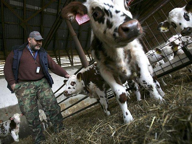 Zootechnik Pavel Jirků s telaty normandského plemene v kravíně v Mříči u Křemže. Čistokrevných krav je zatím v Česku jen kolem šedesáti.