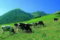 HORSKÁ IDYLA? Jihočeští vědci zkoumají vliv volně pasoucího se dobytka na zhoršování skleníkového efektu.