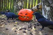Zvířata v táborské zoo si užila strašidelný halloween.