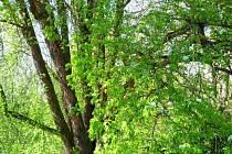 Hrušeň obecná v botanické zahradě možná stála u zrodu kariéry Karla Němce, syna Boženy Němcové a místního zahradníka.