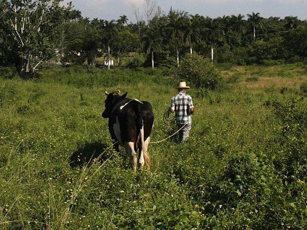 UBÝVAJÍ. Stáda skotu jsou na jihu Čech menší než vloni. Farmáři se zbavují hlavně dojnic a zaměřují se na chov masných plemen.