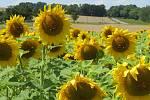 Práci zemědělců ničí lidé. Podívejte se, jak poničili slunečnicové pole u Tábora.