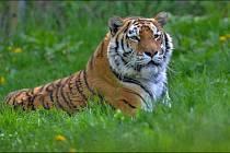 Tygr ussurijský je největší kočkovitá šelma na světě.