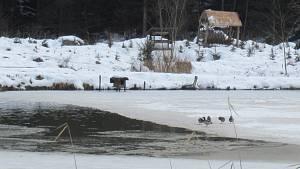 V Dlouhé Lhotě na Táborsku v pátek 22. ledna potvrdila veterinární správa ptačí chřipku