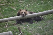 Medvěd hnědý odpočívající v táborské zoologické zahradě