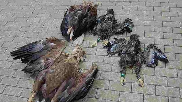 Otrávení orli.