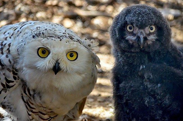 Táborská zoo se může pochlubit mládětem ohrožené sovice sněžní.