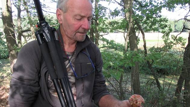 """Místy rostou hřibovité houby jako hřib dubový, hřib borový a hřib kovář, kozák březový či křemenáč osikový. Na Šumavě začínají lišky. Do dvou týdnů by mohly začít """"opravdové žně""""."""