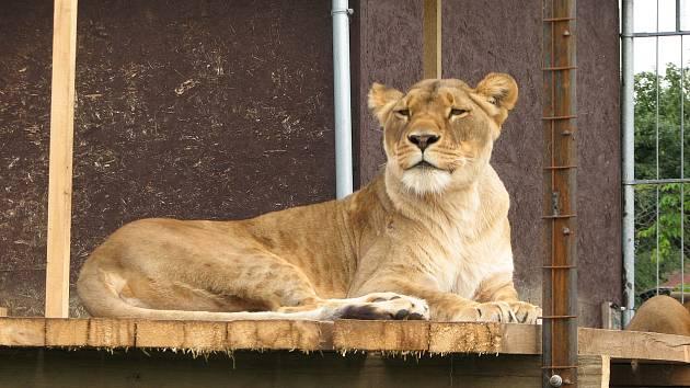 Lví slečna Luena se v táborské zoo poměrně brzy zabydlela.