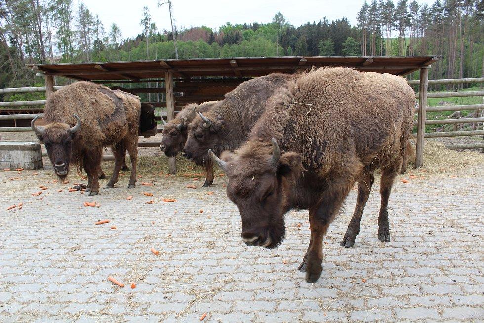 Ve středu nechala táborská zoo převézt svého vůbec prvního odchovance zubra evropského do velkoplošné přírodní rezervace u Rokycan.