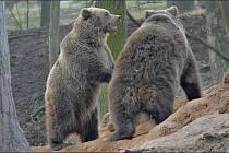 Medvědi hnědí dovádí v táborské zoologické zahradě.