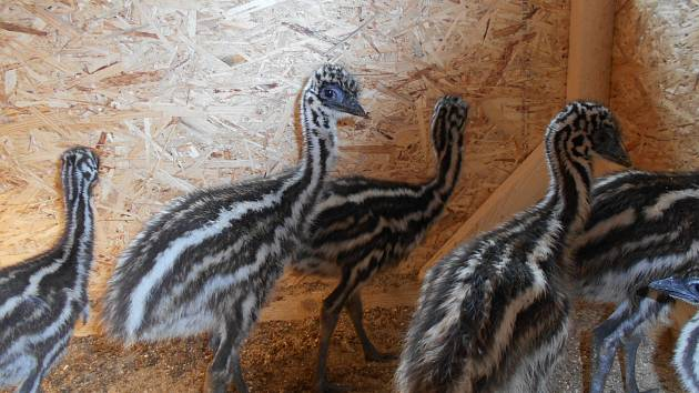 Zoologická zahrada v Táboře se těší z prvních letošních přírůstků. Poprvé se zde podařilo odchovat mládě emu hnědého, v odchovně se jich nyní prohání hned šest.