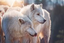 Vlci arktičtí v patří mezi největší poddruhy vlka a pochází z nejsevernějších oblastí Kanady a Grónska.