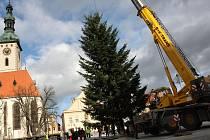 Táborský vánoční strom – 13 metrů vysoká douglaska tisolistá z Opařan, včera dorazil na své místo, které má tradičně na Žižkově náměstí.