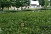 Hned v Komárově u rybníka jsem měla zážitek. Kolem rybníka rostly hříbečky.
