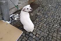 Uvázaný pes v centru Tábora.