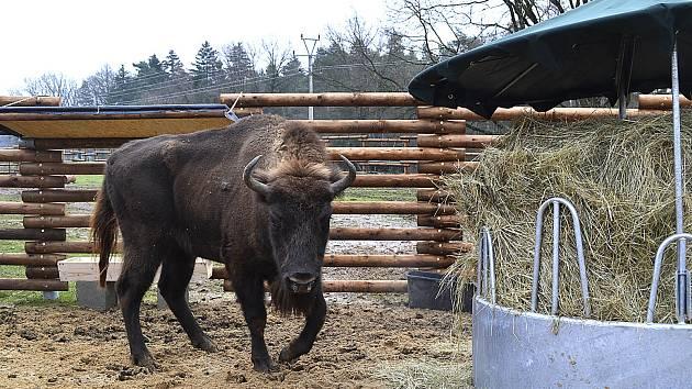 Zubr z táborské zoologické zahrady.