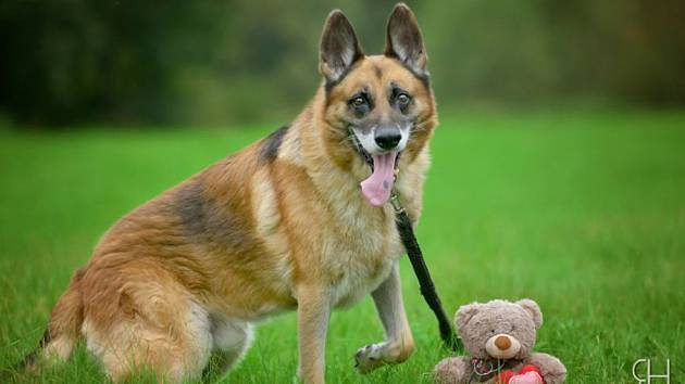 Dingo – přátelský ovčák a profihlídač.