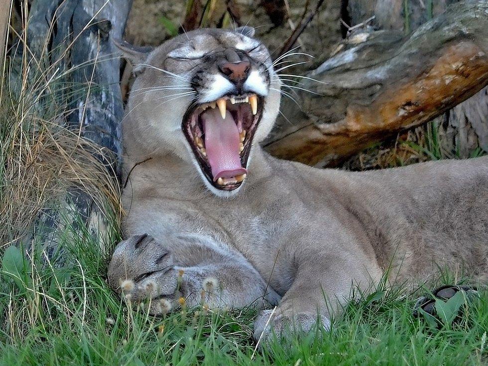 Puma americká Robin s otevřenou tlamou v Zoo Tábor.