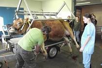Operace dvanáctileté krávy z táborské zoo.