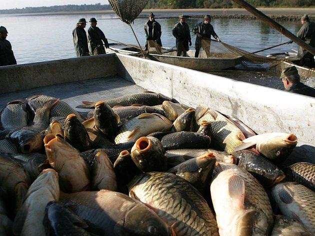 Tradiční ryba. Tak bohatou historií, jakou má jihočeské rybníkářství, se může pochlubit jen málokdo. Třeboňský kapr užívá národní značku kvality Klasa.