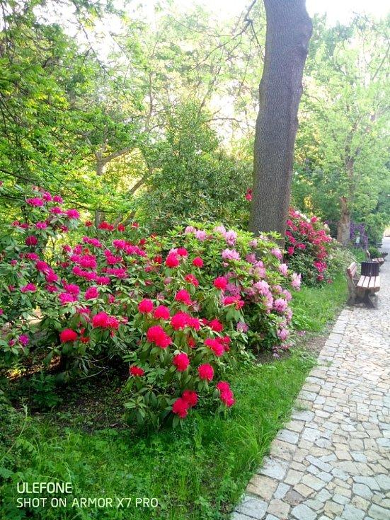 V arboretu táborské botanické zahrady kvetou dřeviny.