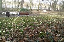 Bledule jarní vyrazily naproti jaru v táborské botanické zahradě, kvést mají až do konce března.