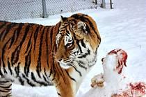 V táborské zoologické zahradě žije mnoho zvířat, která si mrazivé počasí vysloveně užívají. Patří k nim i maskot ZOO Tábor – tygr Rocky.