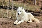 Vlci akrtičtí ze Zoo Tábor.