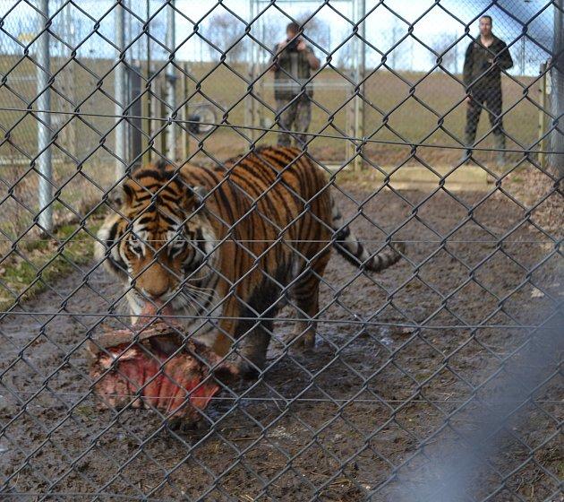 Znarozeninového krmení tygra ussurijského vtáborské ZOO..