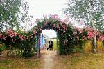 Na poliv v Hlavňově u Havlů každoročně rozkvete na tisíce růží.