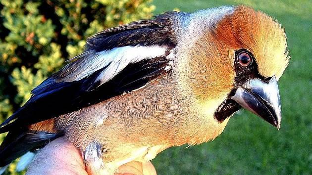 DLASK. Předčasně vylétlá ptáčata nosí lidé do záchranné stanice často zbytečně. Nejúčinnější je vrátit je do hnízda.