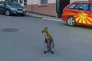 V Táboře poskakuje po ulicích klokan. Foto zveřejnili táborští strážníci na facebooku.