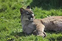Puma Líla se začala opalovat a když má náladu, předvede svou ladnou krásu návštěvníkům.
