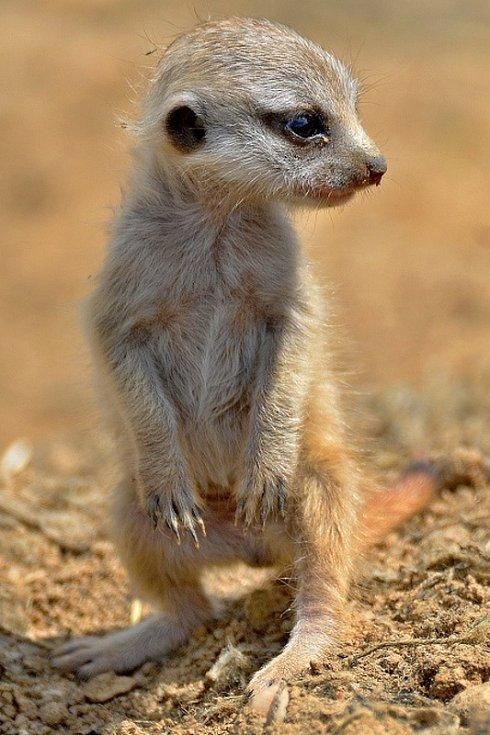 Mládě surikaty vlnkované v Zoo Tábor.