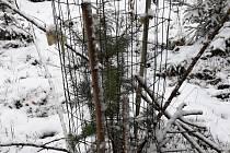 Stromek složitě chráněný větví s trny a pletivem a důkladně přivázaný ke kůlům.