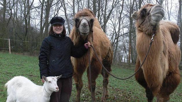 Šajtanovi a Mohamedovi se v Čechách očividně líbí. Ani letošní dlouhá zima jim nevadila. Prohánějí se po Bítově a občas vozí turisty.