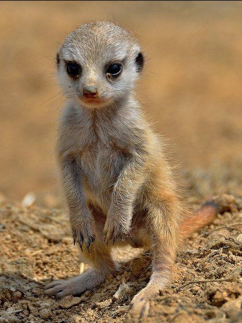 Mládě surikaty.
