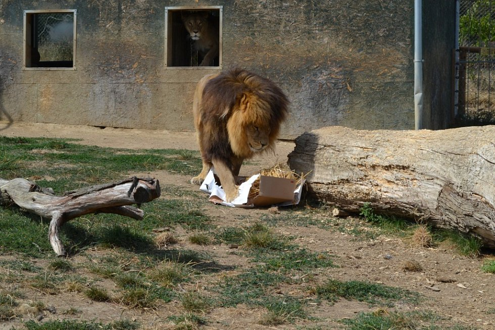 Lev Simba slavil v táborské zoo  5. narozeniny.