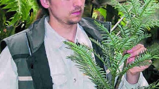 Šéf táborské botanické zahrady Radoslav Kacerovský ukazuje vzácnou wolemii.