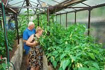 """ÚRODA. """"Aby se zelenině dařilo, musíme jí pravidelně zalévvat,"""" radí Petr Mikeš"""